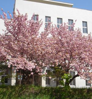 小樽裁判所の八重桜が満開に ...